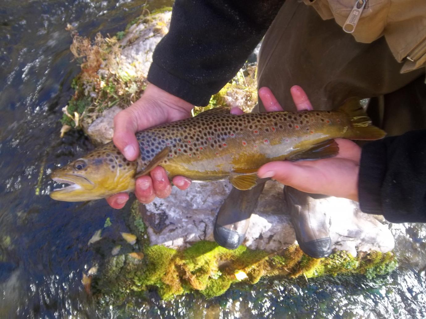 Brown trout, Northern Utah, October 2013.